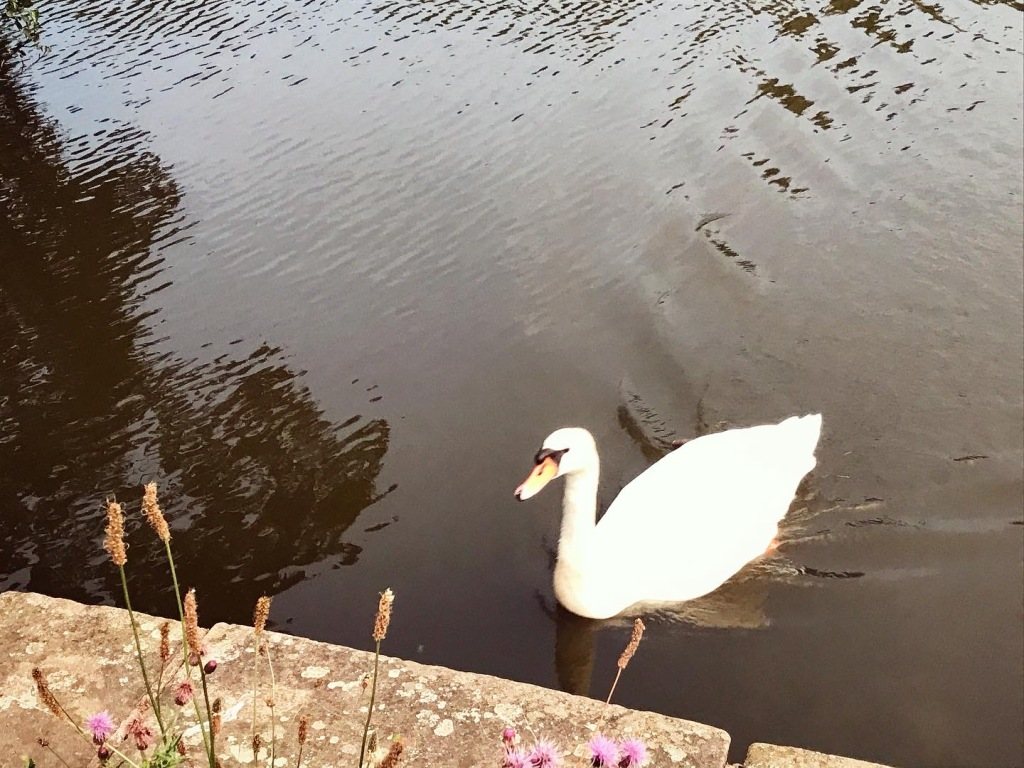 The swans thought we had food too..this one swam all the way from the other side to be greeted by disappointment. 🙊
