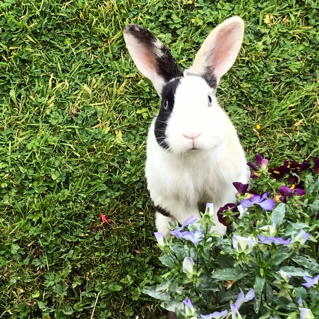 12/08 - He escaped from his hutch, but looked as though butter wouldn't melt. Naughty bun! 🐰