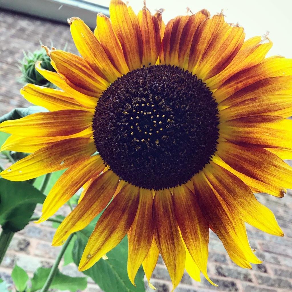 My Autumn sunflowers finally began flowering!! 🌻